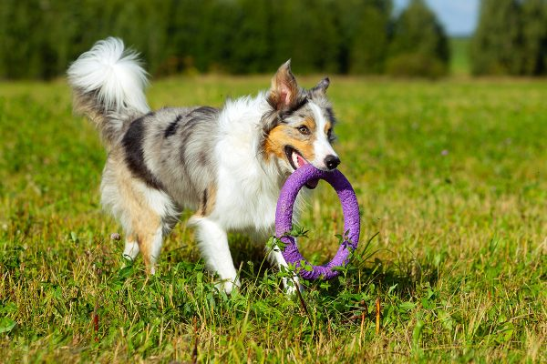border-collie-dog-walking-LKYUJNS.jpg