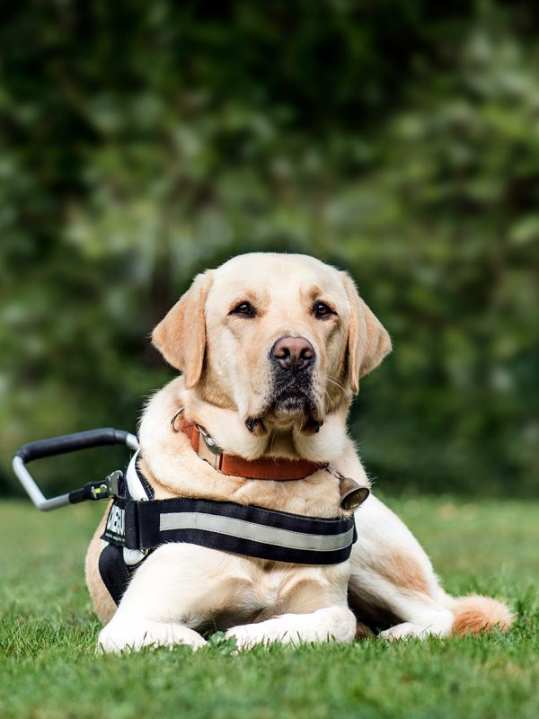 guide-dog-labrador-retriever-2-years-old-in-park-DLG2RME.jpg